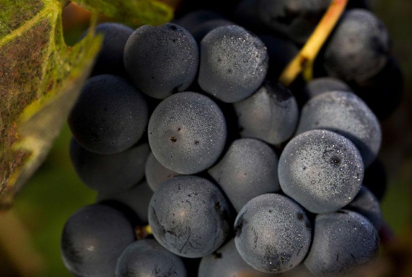 Zaskakujące właściwości flawonoidów w winie