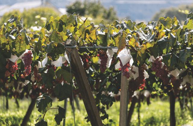 Koshu winogrona w kapturkach