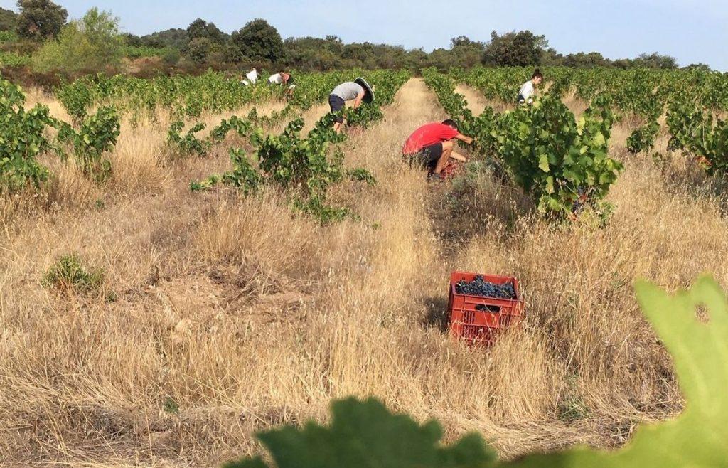 Zbiór winogrona na wino naturalne.