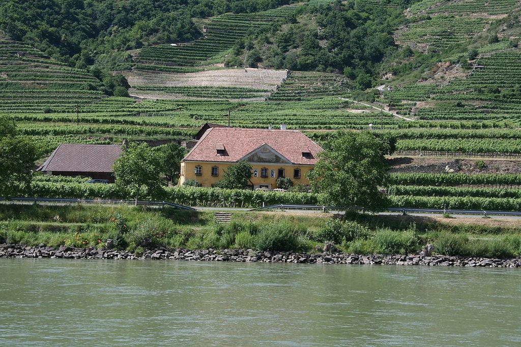 Grüner Veltliner i inne winnice w regionie.