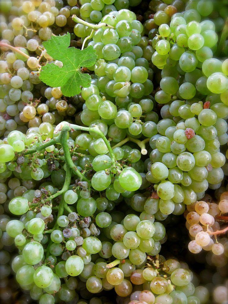 Godello. winogrona.