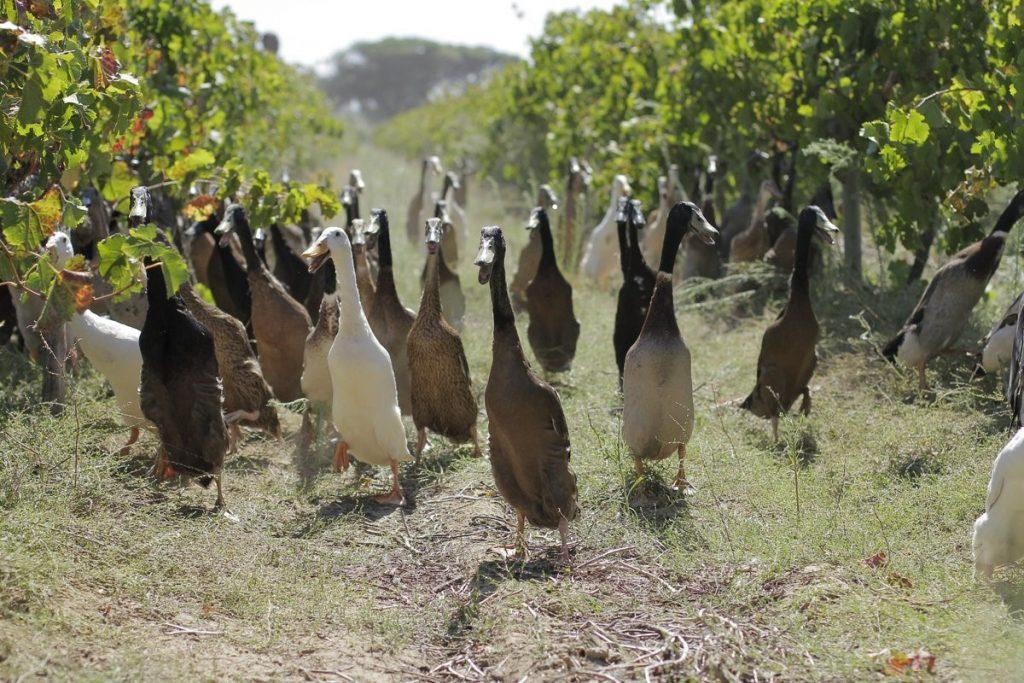 Zwierzęta w winnicy - kaczki!