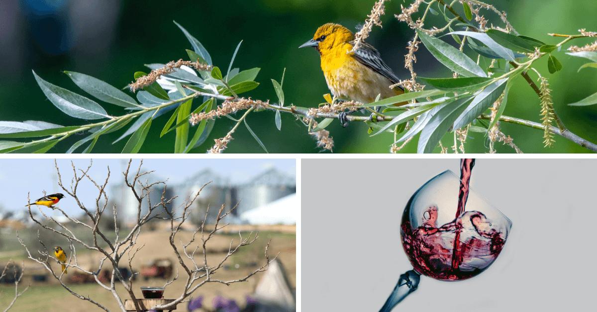 Wilga – ptak z winem z portugalskiego Douro