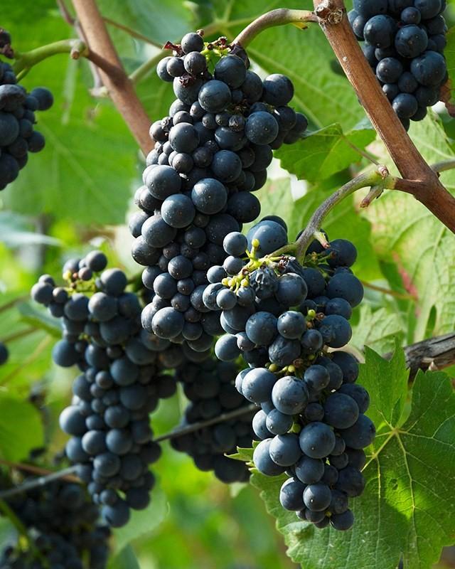Region winiarski i jego winogrona - Nelson.