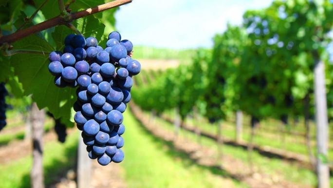 Z takich winogron rodzi się Malbec.